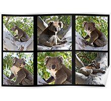 ~ Australian Koala ~ Poster