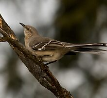 Listen...to the mockingbird. by KAREN SCHMIDT