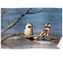 Blue Winged Kookaburras - Kemp Beach,  Qld. Australia. Poster