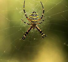 Tiger spider by JBlaminsky
