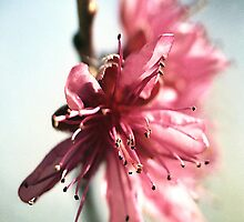 Peach Blossom by Melissa Holland