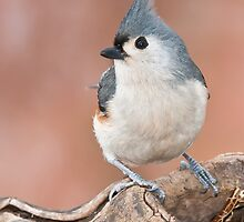 Tufted Titmouse by (Tallow) Dave  Van de Laar