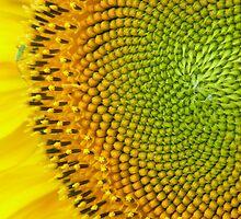 View of a sunflower by Ana Tatu