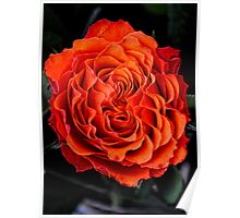 Apricot  Rose Poster