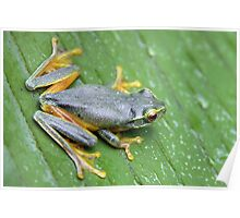 Orange Thighed Tree Frog Poster