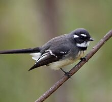 Grey Fantail by triciaoshea