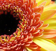 Multi-colored Gerbera Daisy by Alison Netsel