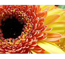 Multi-colored Gerbera Daisy Photographic Print