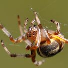 Spin that Web! by smalletphotos