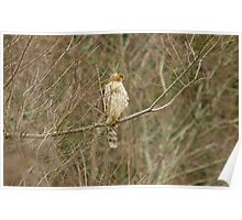 COOPER HAWK OR Sharp-shinned??? Poster