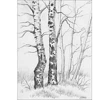 BIRCH TREE 01 Photographic Print