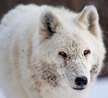 Arctic Wolf (C) by Jay Ryser