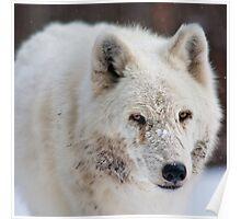 Arctic Wolf (C) Poster
