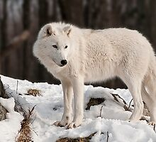 Arctic Wolf by Tracey  Dryka