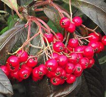 Winter Berries by Stephen Willmer