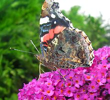 Butterfly on Purple Buddleia by RuthMoore