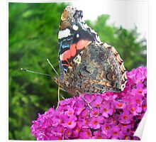 Butterfly on Purple Buddleia Poster