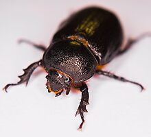 African Black Beetle by RatManDude