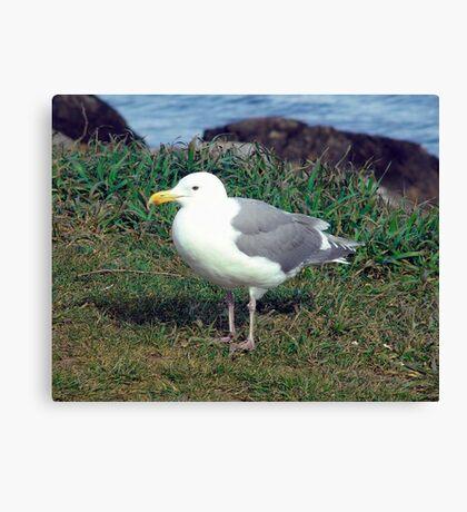 Seagull (4) Canvas Print