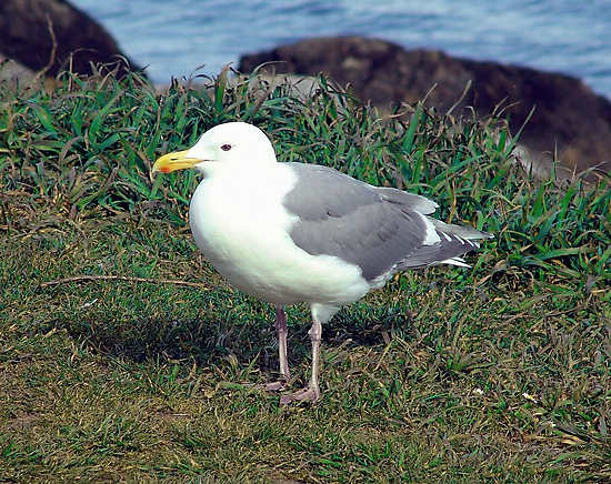 Seagull (4) by George Cousins