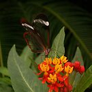 Glasswing Butterfly by Michaela1991