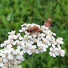 Bonking Beetles aka Soldier Beetle by Michaela1991