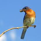 Eastern Bluebird with grasshopper by Robert Miesner