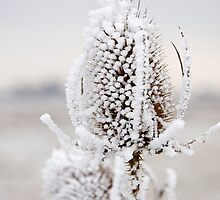 Frozen Teasel by Robert  Geldard