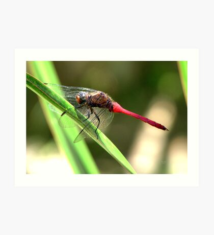 CANT SETTLE DRAGON FLY Art Print