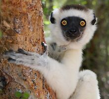 Furry Sifaka by cute-wildlife