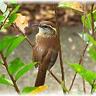 Carolina Wren by Kyle Wolff