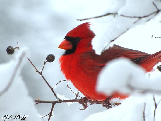 Red versus White. The Cardinal versus the cold winter by Kyle Wolff