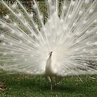 Peacock in White by Bob Hardy