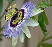 Passion Flower......Lyme Dorset UK by lynn carter