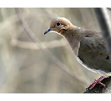 Mourning Dove Photographic Print