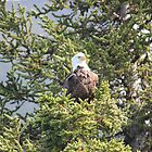Bald Eagle by vtmichael