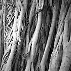 Sarasota Tree by Christopher Herrfurth