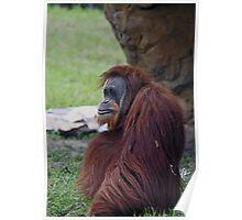Female Orangutan Poster