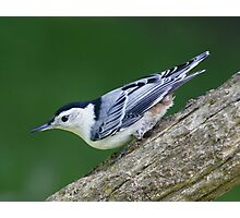 White breasted Nuthatch Photographic Print