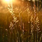 Golden light dances through fields by Briony  Williams Photography