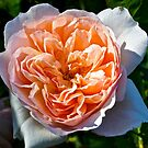Charles Austin, David Austin English Rose, by johnrf
