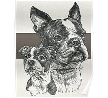 Boston Terrier, Father & Son Poster