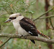 Kookaburra on Phillip Island by Justine Armstrong
