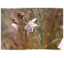 Nullarbor wildflower Poster