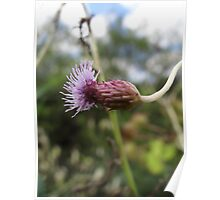 Black Knapweed profile Poster