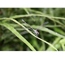 Dragon Fly at Mt Coot-tha Photographic Print