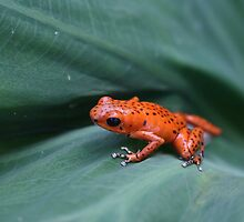 Cool Poison Dart Frog by cute-wildlife