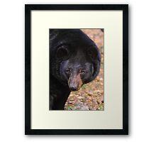 Florida Black Bear Framed Print