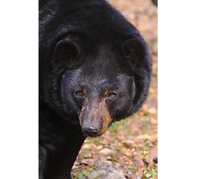Florida Black Bear Photographic Print
