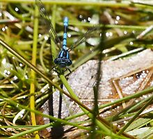 Damselfly at our pond today (Jan 3rd) - any resemblance to a helicopter? by Ron Co